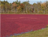 Wet Harvest of Cranberry Bog