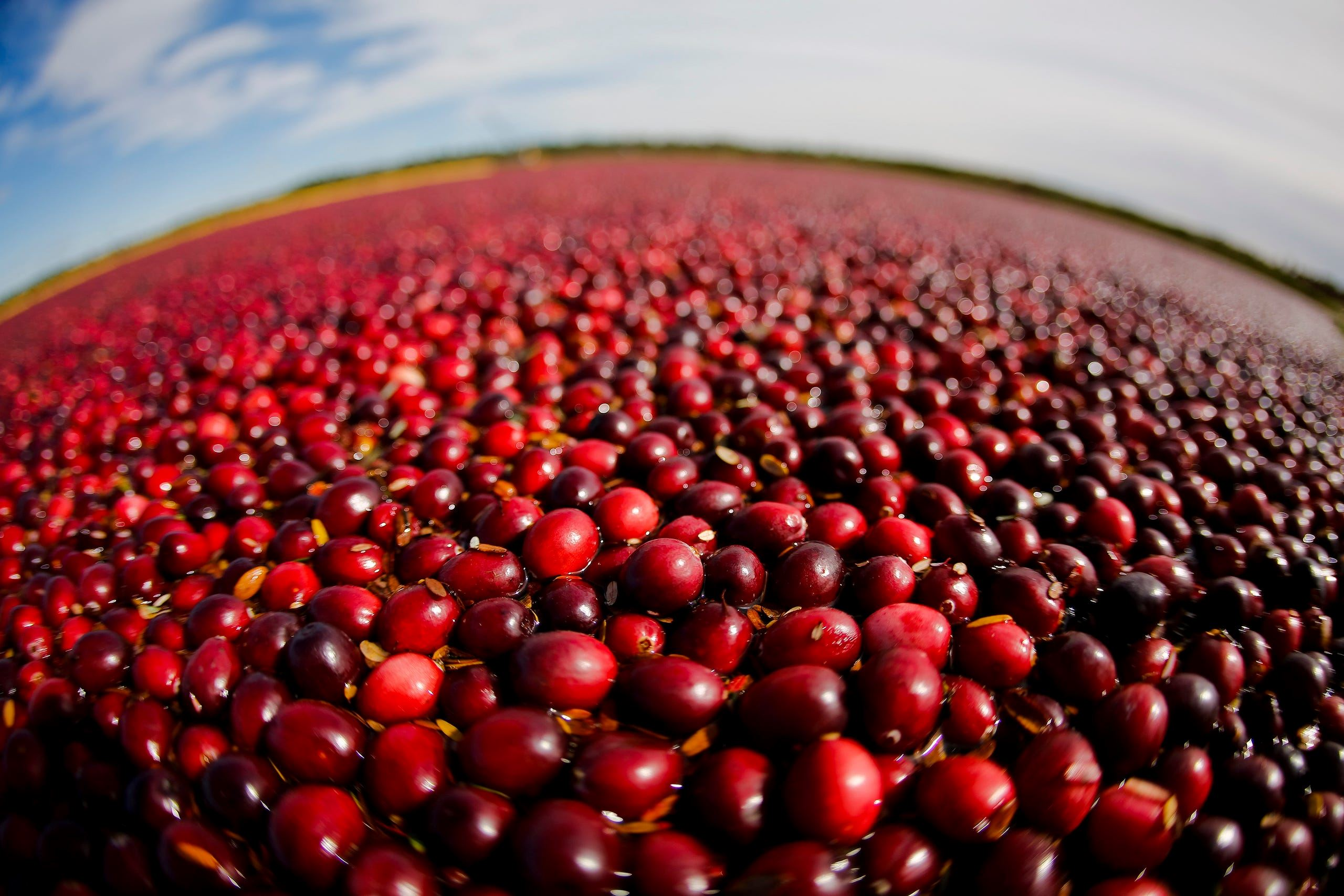 ap_cranberry_harvest.1
